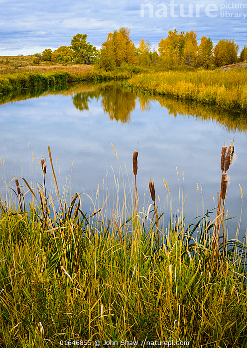 Cattail (Typha sp.) and cottonwood trees surrounding a prairie slough / marsh. Montana, USA, October.  ,  American,Angiosperm,Angiospermae,Autumn,Cat tail,Cattail,Colour,Flowering plant,Lilianae,Magnoliopsida,Marsh,Marshland,Monocot,Monocotyledon,Montana,North America,Orange,Plant,plant plant,Plantae,Poales,Reedmace,Season,Spermatophyte,Spermatophytina,Tracheophyta,Typha,Typhaceae,United States of America,USA,Vascular plant,Western USA,Wetland,Yellow  ,  John Shaw