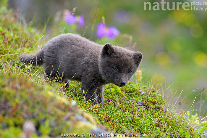 RF - Arctic fox cub (Alopex lagopus) at den. Hornvik, Hornstrandir, Westfjords, Iceland. July. (This image may be licensed either as rights managed or royalty free.)  ,  Animal,Wildlife,Vertebrate,Mammal,Carnivore,Canid,True fox,Arctic fox,Animalia,Animal,Wildlife,Vertebrate,Mammalia,Mammal,Carnivora,Carnivore,Canidae,Canid,Vulpes,True fox,Vulpini,Caninae,Vulpes lagopus,Arctic fox,Polar fox,Blue fox,Ice fox,White fox,Alopex lagopus,Canis lagopus,Cute,Adorable,Portrait,Young Animal,Baby,Baby Mammal,Cub,Summer,RF,Royalty free,RF5,  ,  Terry  Whittaker