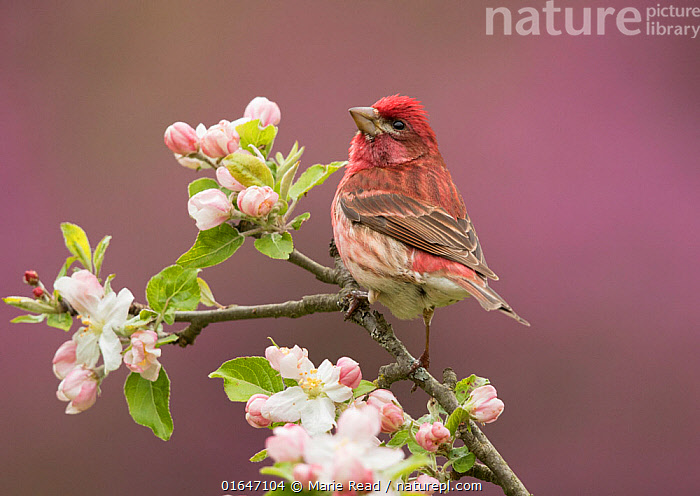 Purple Finch (Carpodacus purpureus) perched amid apple blossom, New York, USA  ,  Animal,Wildlife,Vertebrate,Bird,Birds,Songbird,True finch,Rosefinch,Purple finch,American,Animalia,Animal,Wildlife,Vertebrate,Aves,Bird,Birds,Passeriformes,Songbird,Passerine,Fringillidae,True finch,Finch,Carpodacus,Rosefinch,Carduelinae,Carpodacus purpureus,Purple finch,Fringilla purpurea,Colour,Pink,North America,USA,Eastern USA,Mid-Atlantic US,New York,Plant,Flower,Blossom,Spring,American,United States of America,Catalogue14,  ,  Marie Read