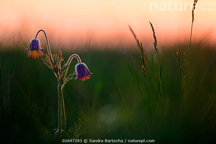 Small pasqueflower / Pasque flower (Pulsatilla pratensis), at dusk, Meesiger, Germany, May.  ,  Colour,Pink,Two,Europe,Western Europe,Germany,Plant,Flower,Sunset,Setting Sun,Sunsets,Dusk,  ,  Sandra Bartocha