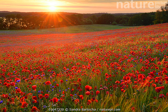 Field of poppies (Papaver rhoeas) and Cornflowers (Centaurea cyanus) Nonnenmuehle, Germany, June.  ,  Angiosperm,Angiospermae,Asteraceae,Asterales,Asteranae,Asterid,Catalogue14,Centaurea,Centaurea cyanus,Common poppy,Compositae,Corn poppy,Cornflower,Dicot,Dicotyledon,Dusk,Europe,Field poppy,Flower,Flowering plant,Fumariaceae,Germany,Knapweed,Magnoliopsida,Papaver,Papaver rhoeas,Papaveraceae,Plant,plant plant,Plantae,Poppy,Ranunculales,Ranunculanae,Red poppy,Setting Sun,Spermatophyte,Spermatophytina,Star thistle,Stylomecon,Summer,Sunset,Sunsets,Tracheophyta,Vascular plant,Western Europe  ,  Sandra Bartocha