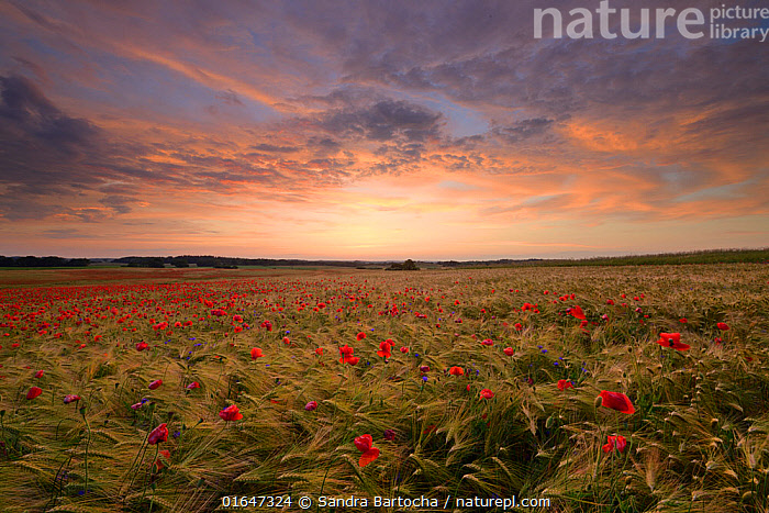 Field of poppies (Papaver rhoeas) growing in Barley (Hordeum vulgare) crop, Peckatel, Germany, June.  ,  Agricultural Land,Angiosperm,Angiospermae,Asteraceae,Asterales,Asteranae,Asterid,Barley,Centaurea,Centaurea cyanus,Cereal barley,Common barley,Common poppy,Compositae,Corn poppy,Cornflower,Crops,Cultivated,Cultivated Land,Dicot,Dicotyledon,Dusk,Europe,Farmland,Field,Field poppy,Flower,Flowering plant,Fumariaceae,Germany,Gramineae,Grass,Hordeum,Hordeum vulgare,Knapweed,Lilianae,Magnoliopsida,Monocot,Monocotyledon,Papaver,Papaver rhoeas,Papaveraceae,Plant,plant plant,Plantae,Poaceae,Poales,Poppy,Produce,Ranunculales,Ranunculanae,Red poppy,Setting Sun,Spermatophyte,Spermatophytina,Star thistle,Stylomecon,Summer,Sunset,Sunsets,Tracheophyta,True grass,Two rowed barley,Vascular plant,Western Europe  ,  Sandra Bartocha