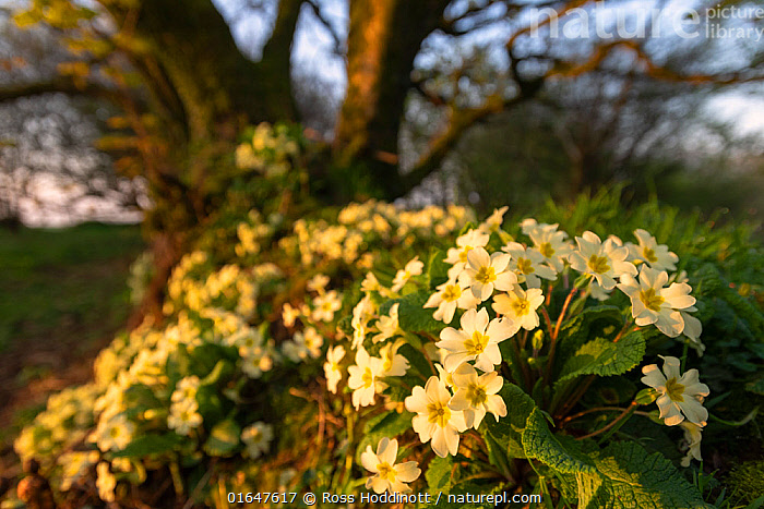 Common primroses (Primula vulgaris) in flower along Cornish hedgerow, Kilkhampton, Cornwall, UK. April.  ,  Plant,Vascular plant,Flowering plant,Asterid,Primula,Common primrose,Plantae,Plant,Tracheophyta,Vascular plant,Magnoliopsida,Flowering plant,Angiosperm,Seed plant,Spermatophyte,Spermatophytina,Angiospermae,Ericales,Asterid,Dicot,Dicotyledon,Asteranae,Primulaceae,Primula,Primula vulgaris,Common primrose,English primrose,Primula acaulis,Colour,Yellow,Europe,Western Europe,UK,Great Britain,England,Cornwall,Flower,Spring,  ,  Ross Hoddinott