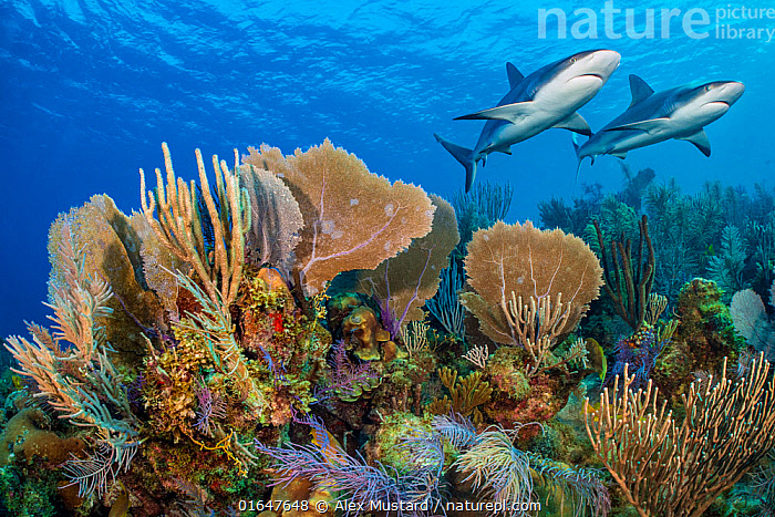 A vibrant Caribbean coral reef with two Reef sharks (Carcharhinus perezi) and Common sea fans (Gorgonia ventalina) and sea plumes (Pseudopterogorgia sp). Jardines de la Reina, Gardens of the Queen National Park, Cuba. Caribbean Sea.  ,  Animal,Wildlife,Cnidarian,Anthrozoan,Soft coral,Common sea fan,Vertebrate,Cartilaginous fish,Ground shark,Requiem sharks,Caribbean reef shark,Gorgonian coral,Animalia,Animal,Wildlife,Cnidaria,Cnidarian,Coelentrerata,Anthozoa,Anthrozoan,Alcyonacea,Soft coral,Gorgoniidae,Gorgonia,Gorgonia ventalina,Common sea fan,Purple coral,Vertebrate,Chondrichthyes,Cartilaginous fish,Jawed fish,Carcharhiniformes,Ground shark,Carcharhinidae,Requiem sharks,Carcharhinus,Carcharhinus perezi,Caribbean reef shark,Carcharhinus springeri,Eulamia springeri,Platypodon perezii,Colour,Colourful,Two,Vibrant Colour,The Caribbean,Caribbean,West Indies,Low Angle View,Tropical,Seabed,Reef,Reefs,Coral Reef,Coral Reefs,Ocean,Caribbean Sea,Landscape,Healthy,Health,Wellness,Nature,Marine,Underwater,Water,Habitat,Reserve,Saltwater,Sea,Biodiversity hotspots,Protected area,National Park,Shark,Ventral view,Underside,Gorgonacea,Pseudopterogorgia,Biodiversity,Well,Gardens of the Queen National Park,Jardines de la Reina,Coral,Gorgonian coral,Invertebrate,Invertebrates,Marine,,catalogue14  ,  Alex Mustard