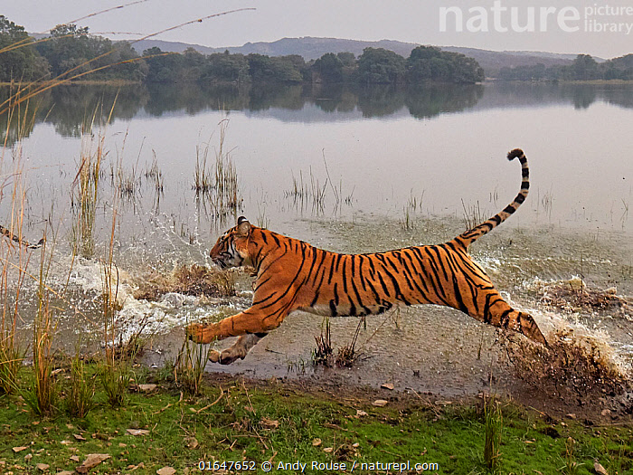 Bengal tiger (Panthera tigris) tigress 'Arrowhead' running through water, Ranthambhore, India  ,  Animal,Wildlife,Vertebrate,Mammal,Carnivore,Cat,Big cat,Tiger,Bengal tiger,Animalia,Animal,Wildlife,Vertebrate,Mammalia,Mammal,Carnivora,Carnivore,Felidae,Cat,Panthera,Big cat,Panthera tigris,Tiger,Felis tigris,Tigris striatus,Tigris regalis,Running,Asia,Indian Subcontinent,India,Female animal,Freshwater,Lake,Water,Bengal tiger,Indian tiger,Rajasthan,Moving,Ranthambore National Park,Movement,Endangered species,threatened,Endangered  ,  Andy Rouse