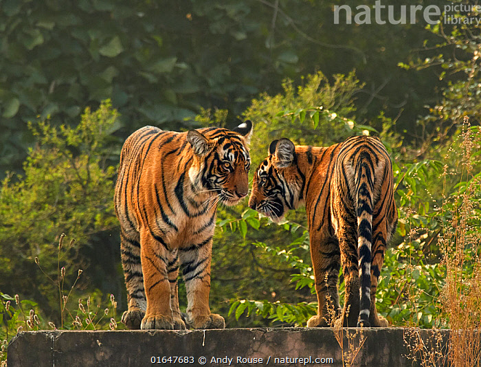 RF - Bengal tiger (Panthera tigris) cubs age 10 months, Ranthambhore, India (This image may be licensed either as rights managed or royalty free.)  ,  Animal,Wildlife,Vertebrate,Mammal,Carnivore,Cat,Big cat,Tiger,Bengal tiger,Animalia,Animal,Wildlife,Vertebrate,Mammalia,Mammal,Carnivora,Carnivore,Felidae,Cat,Panthera,Big cat,Panthera tigris,Tiger,Felis tigris,Tigris striatus,Tigris regalis,Greeting,Sibling,Siblings,Two,Asia,Indian Subcontinent,India,Young Animal,Cub,Bengal tiger,Indian tiger,Family,Rajasthan,Ranthambore National Park,Endangered species,threatened,Endangered  ,  Andy Rouse