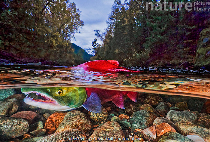 Split level of a Sockeye salmon (Oncorhynchus nerka) in shallow water; Adams River, British Columbia, Canada. October.  ,  Pacific Northwest,,Animal,Wildlife,Vertebrate,Ray-finned fish,Percomorphi,Salmonid,Pacific salmonids,Sockeye salmon,Animalia,Animal,Wildlife,Vertebrate,Actinopterygii,Ray-finned fish,Osteichthyes,Bony fish,Fish,Perciformes,Percomorphi,Acanthopteri,Salmonidae,Salmonid,Oncorhynchus,Pacific salmonids,Oncorhynchus nerka,Sockeye salmon,Pygmy salmon,Land-locked sockeye,Red salmon,Kennerly&#39,s salmon,Blueback salmon,Fraser river salmon,Salmo nerka,Hypsifario kennerlyi,Salmo paucidens,Migration,Shallow,North America,Canada,British Columbia,Flowing Water,River,Freshwater,Underwater,Split level,Water,Animal Behaviour,Temperate,Behaviour,Behavioural,Catalogue14,  ,  David Hall