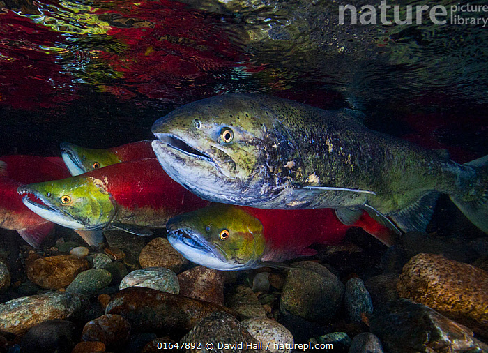 Sockeye Salmon (Oncorhynchus nerka) and Chinook Salmon (Oncorhynchus tshawytsha) (right) during the salmon run; Adams River, British Columbia, Canada. October.  ,  Pacific Northwest,,Animal,Wildlife,Vertebrate,Ray-finned fish,Percomorphi,Salmonid,Pacific salmonids,Sockeye salmon,Chinook salmon,Animalia,Animal,Wildlife,Vertebrate,Actinopterygii,Ray-finned fish,Osteichthyes,Bony fish,Fish,Perciformes,Percomorphi,Acanthopteri,Salmonidae,Salmonid,Oncorhynchus,Pacific salmonids,Oncorhynchus nerka,Sockeye salmon,Pygmy salmon,Land-locked sockeye,Red salmon,Kennerly&#39,s salmon,Blueback salmon,Fraser river salmon,Salmo nerka,Hypsifario kennerlyi,Salmo paucidens,Oncorhynchus tshawytscha,Chinook salmon,King salmon,Spring salmon,Tyee,Salmo tshawytscha,Salmo orientalis,Oncorhynchus cooperi,Migration,Shallow,North America,Canada,British Columbia,Flowing Water,River,Freshwater,Underwater,Water,Animal Behaviour,Temperate,Mixed species,Behaviour,Eye contact,Direct Gaze,Behavioural,Looking,  ,  David Hall