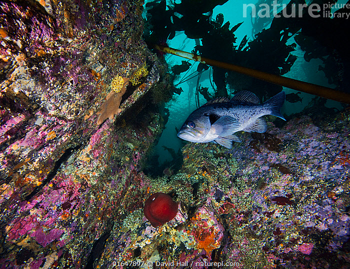 Black Rockfish (Sebastes melanops) with encrusted rock wall; North Wall, Browning Pass, British Columbia, Canada. October. Encrusting organisms seen include calcareous tubeworms, crustose coralline algae, bryozoans, sponges and anemones.  ,  Pacific Northwest,,Animal,Wildlife,Vertebrate,Ray-finned fish,Rockfish,Scorpionfish,Black Rockfish,Animalia,Animal,Wildlife,Vertebrate,Actinopterygii,Ray-finned fish,Osteichthyes,Bony fish,Fish,Scorpaeniformes,Scorpaenidae,Scorpionfishes,Sebastes,Rockfish,North America,Canada,British Columbia,Ocean,Pacific Ocean,North Pacific Ocean,North Pacific,Marine,Underwater,Water,Temperate,Mixed species,Saltwater,Scorpionfish,Black Rockfish,  ,  David Hall