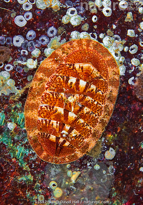 Chiton (Tripoplax trifida), Long Bay, Jedediah Island, British Columbia, Canada. February. Chitons are molluscs - their shells consist of a series of 8 overlapping plates.  ,  Pacific Northwest,,Animal,Wildlife,Mollusc,Chiton,Animalia,Animal,Wildlife,Mollusca,Mollusc,Polyplacophora,Chitons,Chitonida,Colour,Orange,Pattern,Shape,Ellipse,Egg Shape,Egg Shaped,Egg Shapes,Ellipses,Elliptical,Orbital,Oval,Ovals,North America,Canada,British Columbia,Shell,Ocean,Pacific Ocean,North Pacific Ocean,North Pacific,Marine,Underwater,Water,Temperate,Saltwater,Chiton,Ischnochitonidae,Tripoplax,Tripoplax trifida,Ischnochiton trifidus,Trachydermon trifidus,Ischnochiton ritteri,Lepidozona trifida,Invertebrate,Invertebrates  ,  David Hall