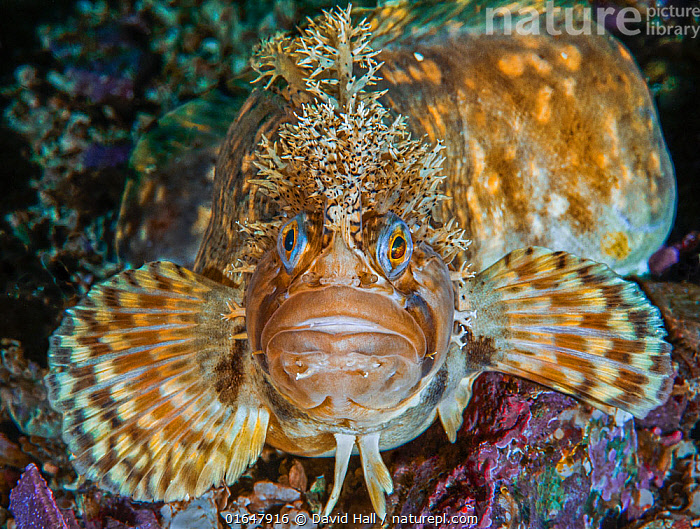 Decorated warbonnet fish (Chirolophis decoratus) portrait, Basket Bay, Alaska, USA. August.  ,  Pacific Northwest,,Animal,Wildlife,Vertebrate,Ray-finned fish,Percomorphi,Prickleback,Decorated warbonnet,American,Animalia,Animal,Wildlife,Vertebrate,Actinopterygii,Ray-finned fish,Osteichthyes,Bony fish,Fish,Perciformes,Percomorphi,Acanthopteri,Stichaeidae,Prickleback,Shanny,Chirolophis [Warbonnets),Chirolophis decoratus,Decorated warbonnet,Decorated blenny,Decorated prickleback,Bryostemma decoratum,North America,USA,Western USA,Alaska,Ocean,Pacific Ocean,North Pacific Ocean,North Pacific,Marine,Underwater,Water,Temperate,Saltwater,Eye contact,Direct Gaze,American,United States of America,Looking,Marine  ,  David Hall