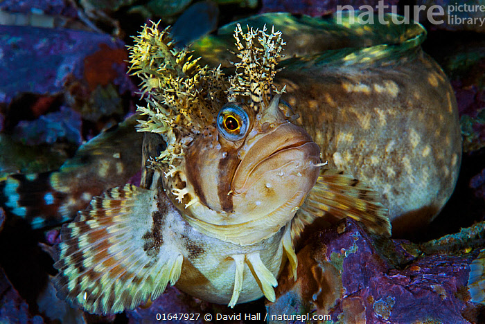 Decorated warbonnet (Chirolophis decoratus) portrait, Sitka, Alaska, USA. August.  ,  Pacific Northwest,,Animal,Wildlife,Vertebrate,Ray-finned fish,Percomorphi,Prickleback,Decorated warbonnet,American,Animalia,Animal,Wildlife,Vertebrate,Actinopterygii,Ray-finned fish,Osteichthyes,Bony fish,Fish,Perciformes,Percomorphi,Acanthopteri,Stichaeidae,Prickleback,Shanny,Chirolophis [Warbonnets),Chirolophis decoratus,Decorated warbonnet,Decorated blenny,Decorated prickleback,Bryostemma decoratum,Spike,Spiked,Spikes,Spikey,Spiky,Facial Expression,North America,USA,Western USA,Alaska,Portrait,Ocean,Pacific Ocean,North Pacific Ocean,North Pacific,Marine,Underwater,Water,Temperate,Saltwater,Direct Gaze,Sitka,American,United States of America,Marine  ,  David Hall