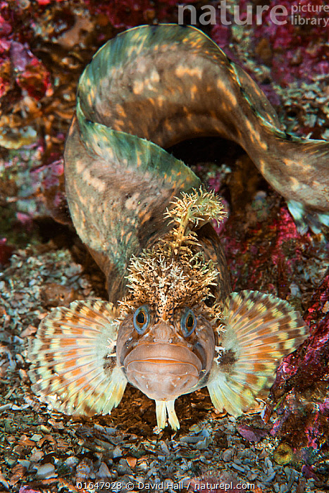 Decorated warbonnet fish (Chirolophis decoratus) portrait, Basket Bay, Alaska, USA. August.  ,  Pacific Northwest,,Animal,Wildlife,Vertebrate,Ray-finned fish,Percomorphi,Prickleback,Decorated warbonnet,American,Animalia,Animal,Wildlife,Vertebrate,Actinopterygii,Ray-finned fish,Osteichthyes,Bony fish,Fish,Perciformes,Percomorphi,Acanthopteri,Stichaeidae,Prickleback,Shanny,Chirolophis [Warbonnets),Chirolophis decoratus,Decorated warbonnet,Decorated blenny,Decorated prickleback,Bryostemma decoratum,Spike,Spiked,Spikes,Spikey,Spiky,North America,USA,Western USA,Alaska,Ocean,Pacific Ocean,North Pacific Ocean,North Pacific,Marine,Underwater,Water,Temperate,Saltwater,Direct Gaze,American,Gulf of Alaska,United States of America,Marine  ,  David Hall