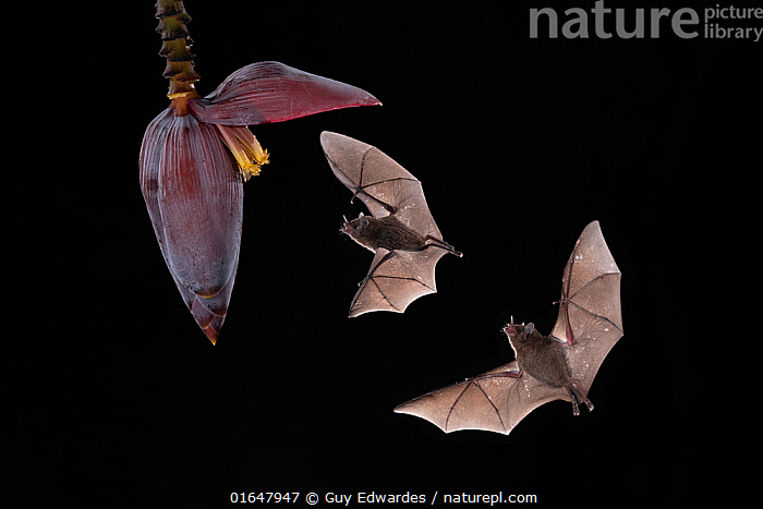 Pallas's long-tongued bats (Glossophaga soricina) feeding from banana flower, lowland rainforest, Costa Rica. November.  ,  Animal,Wildlife,Vertebrate,Mammal,Bat,Leaf-nosed bats,Long tongued bats,Pallas&#39, long tongued bat,Animalia,Animal,Wildlife,Vertebrate,Mammalia,Mammal,Chiroptera,Bat,Phyllostomidae,Leaf-nosed bats,Microchiroptera,Microbat,Micro bat,Glossophaga,Long tongued bats,Glossophaga soricina,Pallas&#39, long tongued bat,Flying,Two,Latin America,Central America,Costa Rica,Cutout,Plain Background,Black Background,Plant,Flower,Wing,Night,Nocturnal,Rainforest,Feeding,Forest,Biodiversity hotspot,Catalogue14,  ,  Guy Edwardes
