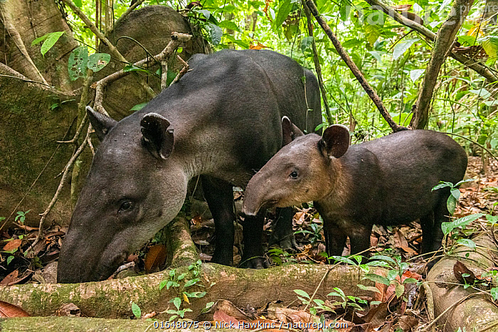 Baird's tapir female (Tapirus bairdii) with calf, rainforest, Corcovado National Park, Costa Rica. Endangered.  ,  Animal,Wildlife,Vertebrate,Mammal,Odd toed ungulate,Tapir,Tapirs,Baird&#39,s Tapir,Animalia,Animal,Wildlife,Vertebrate,Mammalia,Mammal,Perissodactyla,Odd toed ungulate,Tapridae,Tapir,Taprirus,Tapirs,Tapirus bairdii,Baird&#39,s Tapir,Central American Tapir,Endangered,Latin America,Central America,Costa Rica,Young Animal,Baby,Baby Mammal,Calf,Rainforest,Reserve,Forest,Family,Mother baby,Mother,Biodiversity hotspot,Protected area,National Park,Parent baby,Endangered species,threatened,Endangered  ,  Nick Hawkins