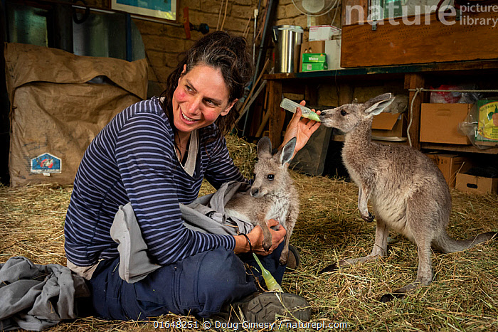 Rena Gaborov feeding Eastern grey kangaroo (Macropus gigantea) orphans in her mother-in-law's shed in Sarsfield, Victoria, Australia. January 2020 Editorial use only.  ,  Plant,Vascular plant,Flowering plant,Giant waterlily,Waterlilies,Plantae,Plant,Tracheophyta,Vascular plant,Magnoliopsida,Flowering plant,Angiosperm,Spermatophyte,Spermatophytina,Angiospermae,Nymphaeales,Nymphaeaceae,Victoria,Giant waterlily,Giant water lily,People,Woman,Australasia,Australia,Victoria,Animal,Natural Disaster,Forest Fire,Forest Fires,Feeding,Conservation,Animal rehabilitation,Rehabilitation,Wildlife conservation,Waterlilies,Aquatic  ,  Doug Gimesy