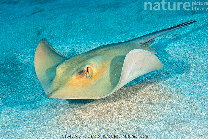 Commonstingray (Dasyatis pastinaca ) on sea floor, Tenerife, Canary Islands.  ,  Animal,Wildlife,Vertebrate,Cartilaginous fish,Rays,Ray,Whiptail stingray,Common stingray,Animalia,Animal,Wildlife,Vertebrate,Chondrichthyes,Cartilaginous fish,Jawed fish,Myliobatiformes,Rays,Ray,Dasyatidae,Whiptail stingray,Dasyatis,Seabed,Ocean,Atlantic Ocean,Marine,Underwater,Water,Temperate,Atlantic Islands,Saltwater,Dasyatis pastinaca  ,  Sergio Hanquet