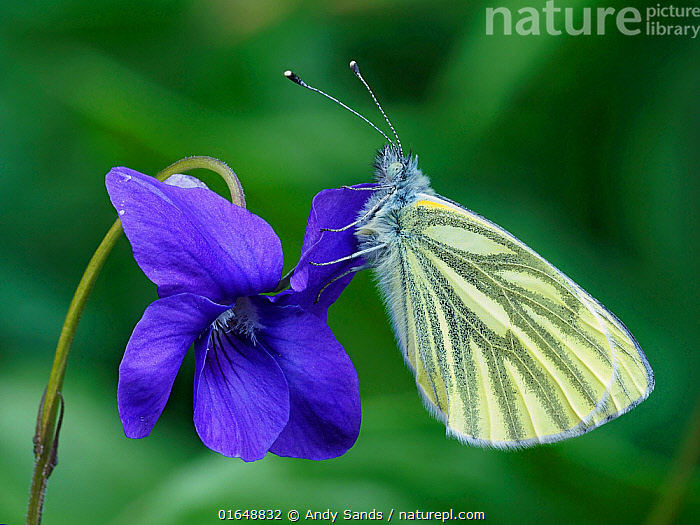 Green veined white butterfly (Pieris napi) roosting on a Dog Violet flower, Hertofrdshire, England, UK, April - Focus Stacked  ,  Animal,Wildlife,Arthropod,Insect,Butterfly,White,Green veined white,Animalia,Animal,Wildlife,Hexapoda,Arthropod,Invertebrate,Hexapod,Arthropoda,Insecta,Insect,Lepidoptera,Lepidopterans,Pieridae,Butterfly,Papilionoidea,Pieris,White,Garden white,Pieris napi,Green veined white,Papilio napi,Pieris arctica,Pieris canidiaformis,Resting,Rest,Colour,Purple,Europe,Western Europe,UK,Great Britain,England,  ,  Andy Sands
