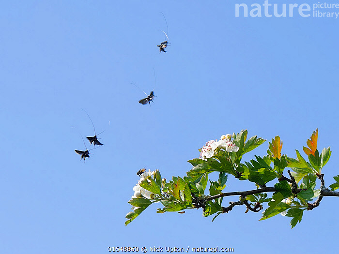 Green fairy longhorn moths (Adela / Adela reaumurella) in a group courtship display flight above a Hawthorn tree (Crateagus monogyna), Wiltshire, UK, April.  ,  Animal,Wildlife,Arthropod,Insect,Fairy longhorn moth,Green longhorn,Animalia,Animal,Wildlife,Hexapoda,Arthropod,Invertebrate,Hexapod,Arthropoda,Insecta,Insect,Lepidoptera,Lepidopterans,Adelidae,Fairy longhorn moth,Fairy longhorn,Fairylonghorn,Moth,Micromoth,Micro moth,Adela,Adela reaumurella,Green longhorn,Green longhorn fairy moth,Adela viridella,Phalaena viridella,Phalaena reaumurella,Flying,Courting,Europe,Western Europe,UK,Great Britain,England,Wiltshire,Animal Behaviour,Reproduction,Mating Behaviour,Courtship,Behaviour,Behavioural,  ,  Nick Upton