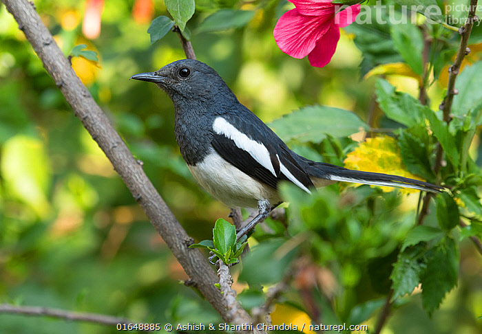 Oriental Magpie Robin (Copsychus saularis) female, Whitefield, Bangalore, India, March.  ,  Animal,Wildlife,Vertebrate,Bird,Birds,Songbird,Old world flycatcher,Magpie robin,Oriental magpie robin,Animalia,Animal,Wildlife,Vertebrate,Aves,Bird,Birds,Passeriformes,Songbird,Passerine,Muscicapidae,Old world flycatcher,Flycatcher,Copsychus,Magpie robin,Chat,Chat thrush,Saxicolinae,Copsychus saularis,Oriental magpie robin,Asia,Indian Subcontinent,India,Bangalore,Profile,Side View,  ,  Ashish & Shanthi Chandola