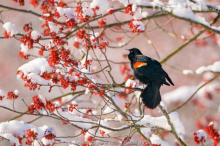 Red-winged Blackbird (Agelaius phoenicus) male singing from snow-covered red maple (Acer rubrum) in flower, Ithaca, New York, USA. April 2020.  ,  Plant,Vascular plant,Flowering plant,Rosid,Soapberry,Maple tree,Red maple tree,Animal,Wildlife,Vertebrate,Bird,Birds,Songbird,New world blackbird,American blackbird,Red winged blackbird,American,Plantae,Plant,Tracheophyta,Vascular plant,Magnoliopsida,Flowering plant,Angiosperm,Seed plant,Spermatophyte,Spermatophytina,Angiospermae,Sapindales,Rosid,Dicot,Dicotyledon,Rosanae,Sapindaceae,Soapberry,Acer,Maple tree,Maple,Acer rubrum,Red maple tree,Swamp maple,Water maple,Soft maple,Acer coccineum,Acer sanguineum,Rufacer rubrum,Animalia,Animal,Wildlife,Vertebrate,Aves,Bird,Birds,Passeriformes,Songbird,Passerine,Icteridae,New world blackbird,Icterid,Agelaius,American blackbird,Agelaius phoeniceus,Red winged blackbird,Oriolus phoeniceus,Vocalisation,Singing,Sing,North America,USA,Eastern USA,Mid-Atlantic US,New York,Male Animal,Snow,Spring,Animal Behaviour,Behaviour,Tree,Trees,American,United States of America,Behavioural,  ,  Marie Read