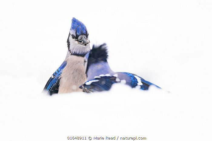 Blue jays (Cyanocitta cristata) confrontation in snow, April 2020. New York State, USA.  ,  Animal,Wildlife,Vertebrate,Bird,Birds,Songbird,Blue jay,American,Animalia,Animal,Wildlife,Vertebrate,Aves,Bird,Birds,Passeriformes,Songbird,Passerine,Corvidae,Corvid,Cyanocitta,Cyanocitta cristata,Blue jay,Corvus cristatus,Confronting,Confronts,North America,USA,Eastern USA,Mid-Atlantic US,New York,Copy Space,Snow,Negative space,American,United States of America,  ,  Marie Read