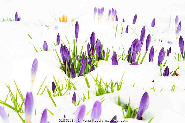 Crocuses flowering in snow, late March 2020, New York State, USA.  ,  Plant,Vascular plant,Flowering plant,Monocot,Iris family,American,Plantae,Plant,Tracheophyta,Vascular plant,Magnoliopsida,Flowering plant,Angiosperm,Seed plant,Spermatophyte,Spermatophytina,Angiospermae,Asparagales,Monocot,Monocotyledon,Lilianae,Iridaceae,Iris family,Crocus,Colour,Purple,North America,USA,Eastern USA,Mid-Atlantic US,New York,Flower,Garden,Snow,Spring,American,United States of America,  ,  Marie Read