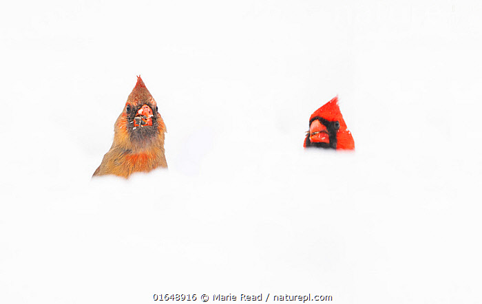 Northern Cardinals (Cardinalis cardinalis) male and female in the snow, photographed from low angle, Freeville, New York, USA. April 2020.  ,  Animal,Wildlife,Vertebrate,Bird,Birds,Songbird,Cardinal,Northern cardinal,American,Animalia,Animal,Wildlife,Vertebrate,Aves,Bird,Birds,Passeriformes,Songbird,Passerine,Cardinalidae,Cardinal,Cardinal grosbeak,Cardinal bunting,Cardinalis,Cardinalis cardinalis,Northern cardinal,Common cardinal,Redbird,Loxia cardinalis,Hiding,Two,North America,USA,Eastern USA,Mid-Atlantic US,New York,Copy Space,Snow,Male female pair,Negative space,Submerging,American,United States of America,  ,  Marie Read