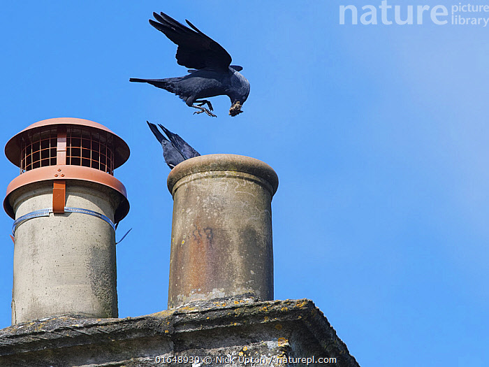 Jackdaw (Corvus monedula) pair bringing small sticks and leaves for lining their nest in a chimney with, Wiltshire, UK, March.  ,  Animal,Wildlife,Vertebrate,Bird,Birds,Songbird,Crow,Eurasian jackdaw,Animalia,Animal,Wildlife,Vertebrate,Aves,Bird,Birds,Passeriformes,Songbird,Passerine,Corvidae,Corvid,Corvus,Crow,Corvus monedula,Eurasian jackdaw,Western jackdaw,Common jackdaw,European jackdaw,Jackdaw,Flying,Europe,Western Europe,UK,Great Britain,England,Wiltshire,Animal Home,Building,Roof,Roofs,Rooftop,Rooftops,Nest,Nesting,  ,  Nick Upton
