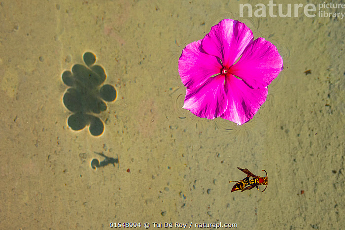 Flower and dead hornet floating in shallow waters in Tui De Roy's garden Santa Cruz Island, Galapagos Islands April 2020  ,  Animal,Wildlife,Arthropod,Insect,Wasp,Hornet,Animalia,Animal,Wildlife,Hexapoda,Arthropod,Invertebrate,Hexapod,Arthropoda,Insecta,Insect,Hymenoptera,Vespidae,Wasp,Hunting wasp,Vespoid wasp,Vespa,Hornet,Social wasp,Dead,Colour,Pink,Latin America,South America,Galapagos Islands,Galapagos,Plant,Flower,Garden,Freshwater,Pond,Water,Death,Biodiversity hotspot,Galapagos National Park,UNESCO World Heritage Site,  ,  Tui De Roy