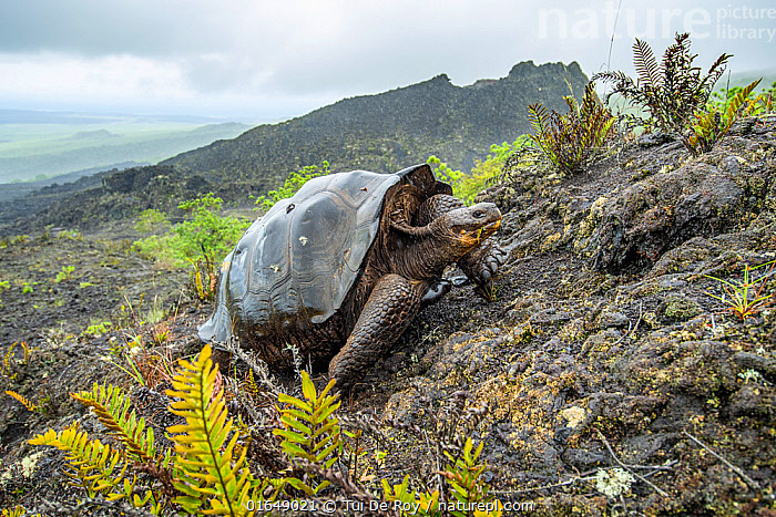 Wolf giant tortoise (Chelonoidis becki) in habitat. Hybrids of mixed parentage with different shell shapes are scattered far and wide on the rugged west slope of Wolf Volcano. Wolf Volcano, Isabela Island, Galapagos.  ,  Animal,Wildlife,Vertebrate,Reptile,Testitudine,Tortoises,Volcan Wolf Giant Tortoise,Animalia,Animal,Wildlife,Vertebrate,Reptilia,Reptile,Chelonii,Testitudine,Testudinidae,Tortoises,Turtle,Chelonoidis,Chelonoidis becki,Volcan Wolf Giant Tortoise,Cape Berkeley Giant Tortoise,Testudo becki,Geochelone elephantopus becki,Geochelone becki,Latin America,South America,Galapagos Islands,Galapagos,Volcano,Landscape,Habitat,Geology,Volcanic features,Hybrid,Biodiversity hotspot,Hybridisation,Galapagos National Park,UNESCO World Heritage Site,Endangered species,threatened,Vulnerable  ,  Tui De Roy