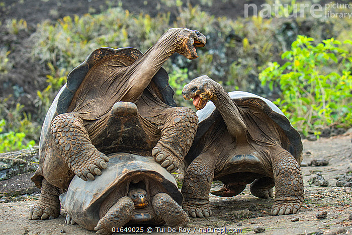 Wolf giant tortoise (Chelonoidis becki) two males fight briefly over mating rights. Wolf Volcano, Isabela Island, Galapagos  ,  Animal,Wildlife,Vertebrate,Reptile,Testitudine,Tortoises,Volcan Wolf Giant Tortoise,Animalia,Animal,Wildlife,Vertebrate,Reptilia,Reptile,Chelonii,Testitudine,Testudinidae,Tortoises,Turtle,Chelonoidis,Chelonoidis becki,Volcan Wolf Giant Tortoise,Cape Berkeley Giant Tortoise,Testudo becki,Geochelone elephantopus becki,Geochelone becki,Jealousy,Envious,Envy,Jealosy,Jealous,Latin America,South America,Galapagos Islands,Galapagos,Animal Behaviour,Reproduction,Mating Behaviour,Copulation,Aggression,Fighting,Male female pair,Behaviour,Biodiversity hotspot,Behavioural,Galapagos National Park,UNESCO World Heritage Site,Endangered species,threatened,Vulnerable  ,  Tui De Roy