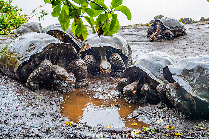 Wolf giant tortoise (Chelonoidis becki) group drinking from small puddles formed by fine drizzle. Wolf Volcano, Isabela Island, Galapagos  ,  Animal,Wildlife,Vertebrate,Reptile,Testitudine,Tortoises,Volcan Wolf Giant Tortoise,Animalia,Animal,Wildlife,Vertebrate,Reptilia,Reptile,Chelonii,Testitudine,Testudinidae,Tortoises,Turtle,Chelonoidis,Chelonoidis becki,Volcan Wolf Giant Tortoise,Cape Berkeley Giant Tortoise,Testudo becki,Geochelone elephantopus becki,Geochelone becki,Group,Wet,Latin America,South America,Galapagos Islands,Galapagos,Mud,Muddy,Weather,Raining,Rain,Water,Drinking,Biodiversity hotspot,Puddle,Galapagos National Park,UNESCO World Heritage Site,Endangered species,threatened,Vulnerable,,catalogue14  ,  Tui De Roy