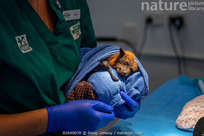 Grey-headed flying-fox (Pteropus poliocephalus) recovering from anaesthetic and thumb amputation, held by veterinary nurse. Bat was caught in roof guttering. Temporarily captive, to be released once recovered. Currumbin Wildlife Hospital, Gold Coast, Queensland, Australia. November 2019. Model released. Editorial use only.  ,  Animal,Wildlife,Vertebrate,Mammal,Bat,Mega bat,Flying fox,Grey headed flying fox,Animalia,Animal,Wildlife,Vertebrate,Mammalia,Mammal,Chiroptera,Bat,Pteropodidae,Mega bat,Megabat,Megachiroptera,Pteropus,Flying fox,Pteropus poliocephalus,Grey headed flying fox,People,Recovery,Recovered,Recovering,Amputated,Amputations,Australasia,Australia,Queensland,Indoors,Conservation,Animal rehabilitation,Rehabilitation,Operation,Surgery,Wildlife conservation,Animal Care,Procedure,Endangered species,threatened,Vulnerable  ,  Doug Gimesy