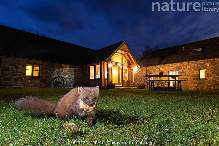 Pine marten (Martes martes) in garden in front of building at night, CairngormsNational Park, Scotland.  ,  pine marten,martes martes,mammal,wildlife,mustelid,night,nocturnal,building,urban,ballintean mountain lodge,glenfeshie,cairngorms national park,scotland.,,Animal,Wildlife,Vertebrate,Mammal,Carnivore,Mustelid,Marten,European Pine Martin,Animalia,Animal,Wildlife,Vertebrate,Mammalia,Mammal,Carnivora,Carnivore,Mustelidae,Mustelid,Martes,Marten,Martes martes,European Pine Martin,Pine Marten,Europe,Western Europe,UK,Great Britain,Scotland,Highland,Portrait,Plant,Grass Family,Grass,Grasses,Artifical light,Electric Light,Garden,Building,Night,Highlands of Scotland,Cairngorms,Cairngorms National Park,  ,  Peter Cairns