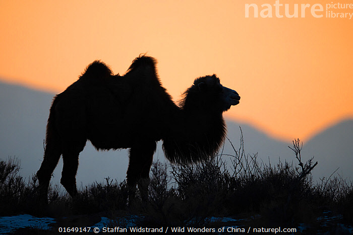 Bactrian camel (Camelus bactrianus) male silhouetted at sunset, living in the wild but owned by a camel herdsman, Kalamaili Nature Reserve, Xinjiang, China  ,  Animal,Wildlife,Vertebrate,Mammal,Camelid,Camel,Bactrian Camel,Animalia,Animal,Wildlife,Vertebrate,Mammalia,Mammal,Artiodactyla,Even-toed ungulates,Camelidae,Camelid,Tylopoda,Camelus,Camel,Camelus bactrianus,Bactrian Camel,Wild Bactrian Camel,Camelus ferus,Asia,East Asia,China,Profile,Side View,Back Lit,Desert,Sunset,Setting Sun,Sunsets,Landscape,Habitat,Reserve,Domestic animal,Silhouette,Domesticated,Protected area,Feral,Dusk,Domestic camel,Xinjiang,Endangered species,threatened,Critically endangered  ,  Staffan Widstrand / Wild Wonders of China