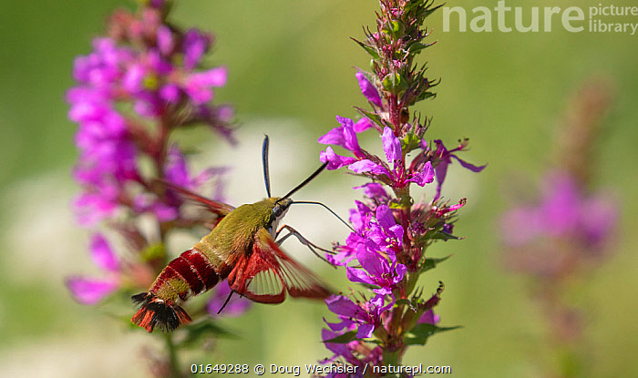 Hummingbird clearwing moth (Hemaris thysbe) nectaring at Purple loosestrife, French Creek State Park, Pennsylvania, USA, August.  ,  Animal,Wildlife,Arthropod,Insect,Sphingid,Hummingbird clearwing moth,American,Animalia,Animal,Wildlife,Hexapoda,Arthropod,Invertebrate,Hexapod,Arthropoda,Insecta,Insect,Lepidoptera,Lepidopterans,Sphingidae,Sphingid,Hawkmoth,Hawk moth,Sphinx moth,Hornworm,Moth,Hemaris,Hemaris thysbe,Hummingbird clearwing moth,Clearwing hummingbird moth,Common clear wing,Common clearwing,Hummingbird moth,Hummingbird sphinx,Sesia thysbe,Sesia fuscicaudis,Haemorrhagia floridensis,North America,USA,Eastern USA,Mid-Atlantic US,Pennsylvania,Plant,Flower,Feeding,Nectaring,American,Dolbina,United States of America,  ,  Doug Wechsler
