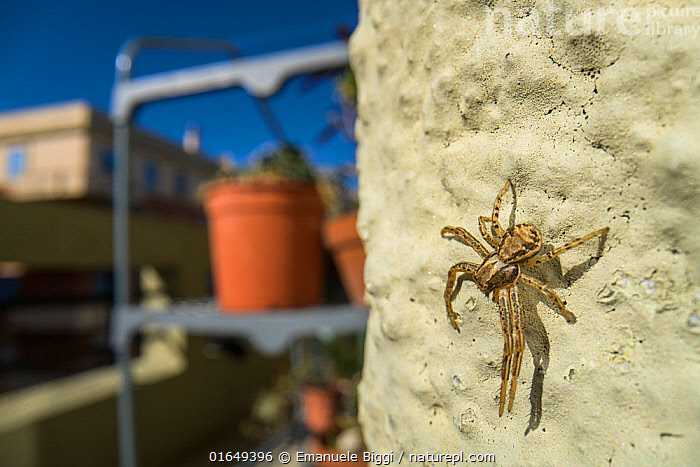 Crab spider (Xysticus sp.) on balcony, Genova, Italy, May.  ,  Animal,Wildlife,Arthropod,Arachnid,Spider,Crab spider,Animalia,Animal,Wildlife,Chelicerata,Arthropod,Chelicerate,Arthropoda,Arachnida,Arachnid,Aranae,Spider,Thomisidae,Crab spider,Xysticus,Europe,Southern Europe,Italy,Close Up,Building,Residential Structure,Apartment,Apartments,Flats,Balcony,Balconies,Macros,Invertebrate,  ,  Emanuele Biggi