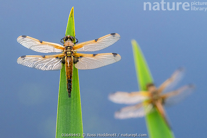 Four-spotted chaser (Libellula quadrimaculata) dragonflies resting on backlit reeds close to the water's edge, Broxwater, Cornwall, UK. May.  ,  Animal,Wildlife,Arthropod,Insect,Pterygota,Skimmer,Four spotted chaser,Animalia,Animal,Wildlife,Hexapoda,Arthropod,Invertebrate,Hexapod,Arthropoda,Insecta,Insect,Odonata,Pterygota,Libellulidae,Skimmer,Skimmer dragonfly,Dragonfly,Anisoptera,Epiprocta,Libellula,Libellula quadrimaculata,Four spotted chaser,Fourspotted chaser,Four spotted skimmer,Fourspot pond skimmer,Four spot pond skimmer,Four spotted libellula,Resting,Rest,Two,Europe,Western Europe,UK,Great Britain,England,Cornwall,  ,  Ross Hoddinott