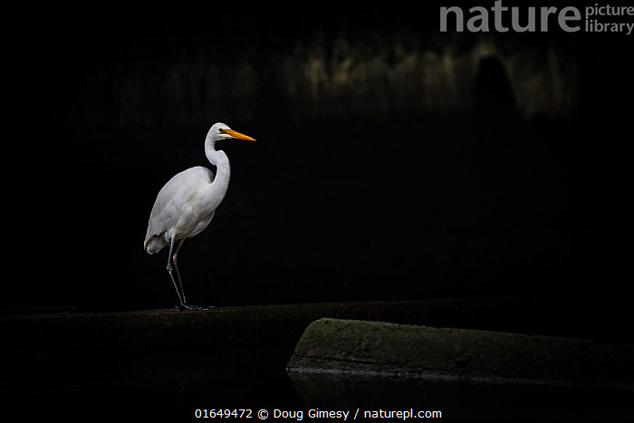 Eastern great egret (Ardea modesta) standing under a bridge in a canal looking for fish that may have come upstream during the tide. Elwood canal, Elwood, Victoria, Australia. May.  ,  Animal,Wildlife,Vertebrate,Bird,Birds,Typical heron,Animalia,Animal,Wildlife,Vertebrate,Aves,Bird,Birds,Pelecaniformes,Ardeidae,Ardea,Typical heron,Heron,Ardeinae,Australasia,Australia,Victoria,Copy Space,Profile,Side View,Bridge,Bridges,Canal,Freshwater,Water,Negative space,Ardea modesta,  ,  Doug Gimesy