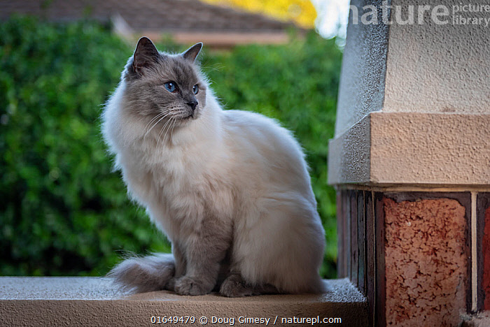 Portrait of domestic ragdoll cat , male 'Shiloh' age 13 on a verandah, looking out.