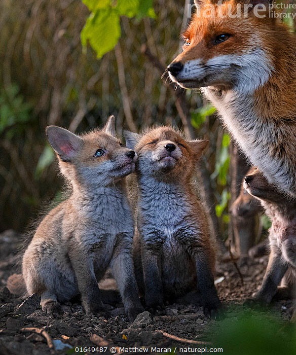 Red fox (Vulpes vulpes) vixen, with cubs looking up expectantly near den on urban allotment, North London, England. April 2020.  ,  Animal,Wildlife,Vertebrate,Mammal,Carnivore,Canid,True fox,Red fox,Animalia,Animal,Wildlife,Vertebrate,Mammalia,Mammal,Carnivora,Carnivore,Canidae,Canid,Vulpes,True fox,Vulpini,Caninae,Vulpes vulpes,Red fox,Cute,Adorable,Europe,Western Europe,UK,Great Britain,England,London,Greater London,Young Animal,Baby,Baby Mammal,Cub,Family,Mother baby,Mother,Parent baby,  ,  Matthew Maran