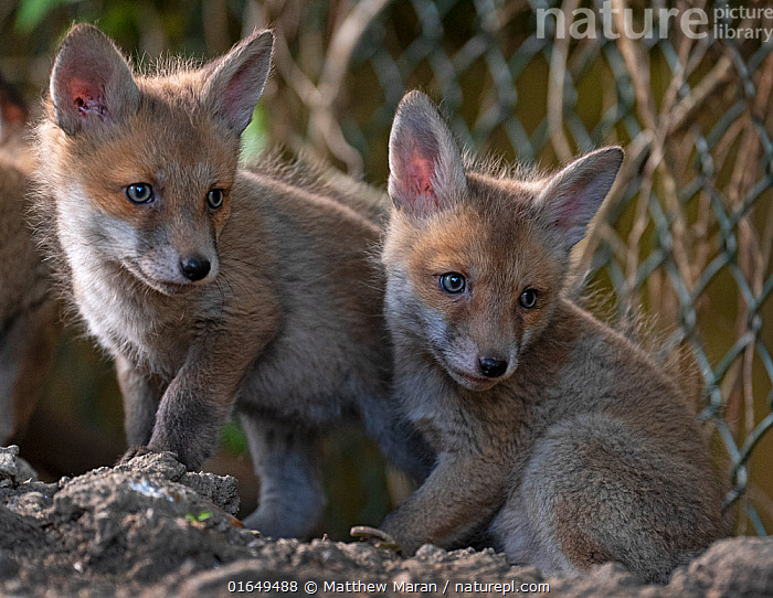 Red fox (Vulpes vulpes) cubs outside the entrance to the den on allotment, North London, England. April 2020.  ,  Animal,Wildlife,Vertebrate,Mammal,Carnivore,Canid,True fox,Red fox,Animalia,Animal,Wildlife,Vertebrate,Mammalia,Mammal,Carnivora,Carnivore,Canidae,Canid,Vulpes,True fox,Vulpini,Caninae,Vulpes vulpes,Red fox,Cute,Adorable,Two,Europe,Western Europe,UK,Great Britain,England,London,Greater London,Portrait,Young Animal,Baby,Baby Mammal,Cub,Boundary,Fence,Animal Den,Den,Allotment,Allotments,Plot,Plots,Vegetable Garden,Vegetable Gardens,Vegetable Plot,Vegetable Plots,Direct Gaze,  ,  Matthew Maran