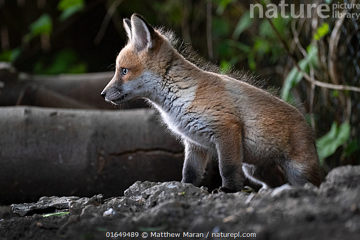 Red fox (Vulpes vulpes) cub at the entrance to the den on allotment, North London, England. April 2020.  ,  Animal,Wildlife,Vertebrate,Mammal,Carnivore,Canid,True fox,Red fox,Animalia,Animal,Wildlife,Vertebrate,Mammalia,Mammal,Carnivora,Carnivore,Canidae,Canid,Vulpes,True fox,Vulpini,Caninae,Vulpes vulpes,Red fox,Cute,Adorable,Side View,Portrait,Young Animal,Baby,Baby Mammal,Cub,Animal Den,Den,Allotment,Allotments,Plot,Plots,Vegetable Garden,Vegetable Gardens,Vegetable Plot,Vegetable Plots,  ,  Matthew Maran