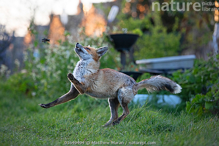 Red fox (Vulpes vulpes) plays with a dead common garden frog (Rana temporaria) on allotment, North London, England, during coronavirus lockdown, March 2020.  ,  Animal,Wildlife,Vertebrate,Mammal,Carnivore,Canid,True fox,Red fox,Animalia,Animal,Wildlife,Vertebrate,Mammalia,Mammal,Carnivora,Carnivore,Canidae,Canid,Vulpes,True fox,Vulpini,Caninae,Vulpes vulpes,Red fox,Europe,Western Europe,UK,Great Britain,England,London,Greater London,Building,Residential Structure,House,Houses,Allotment,Allotments,Plot,Plots,Vegetable Garden,Vegetable Gardens,Vegetable Plot,Vegetable Plots,Animal Behaviour,Playing,Behaviour,Play,Playful,Behavioural,  ,  Matthew Maran