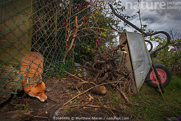 Red fox (Vulpes vulpes) squeezes under a fence into allotment while patrolling its territory, North London, England during coronavirus lockdown, April 2020.  ,  Animal,Wildlife,Vertebrate,Mammal,Carnivore,Canid,True fox,Red fox,Animalia,Animal,Wildlife,Vertebrate,Mammalia,Mammal,Carnivora,Carnivore,Canidae,Canid,Vulpes,True fox,Vulpini,Caninae,Vulpes vulpes,Red fox,Europe,Western Europe,UK,Great Britain,England,London,Greater London,Boundary,Fence,Garden,Carts,Wheelbarrows,Allotment,Allotments,Plot,Plots,Vegetable Garden,Vegetable Gardens,Vegetable Plot,Vegetable Plots,  ,  Matthew Maran