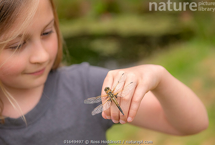 11-year old girl with a newly emerged four-spotted chaser dragionfly (Libellula quadrimaculata) on her hand, Cornwall, UK. April. Model released.  ,  Animal,Wildlife,Arthropod,Insect,Pterygota,Skimmer,Four spotted chaser,Animalia,Animal,Wildlife,Hexapoda,Arthropod,Invertebrate,Hexapod,Arthropoda,Insecta,Insect,Odonata,Pterygota,Libellulidae,Skimmer,Skimmer dragonfly,Dragonfly,Anisoptera,Epiprocta,Libellula,Libellula quadrimaculata,Four spotted chaser,Fourspotted chaser,Four spotted skimmer,Fourspot pond skimmer,Four spot pond skimmer,Four spotted libellula,People,Child,Europe,Western Europe,UK,Great Britain,England,Cornwall,Young,Young Person,  ,  Ross Hoddinott