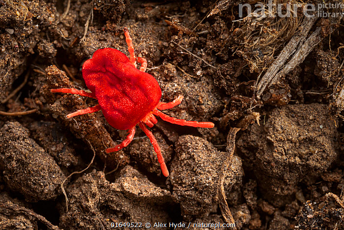Red velvet mite (Trombidium holosericeum) running across soil where it hunts smaller invertebrates. Peak District National Park, Derbyshire, UK. April.  ,  Animal,Wildlife,Arthropod,Arachnid,Mite,Red velvet mite,Animalia,Animal,Wildlife,Chelicerata,Arthropod,Chelicerate,Arthropoda,Arachnida,Arachnid,Trombidiformes,Mite,Acari,Acarina,Trombidiidae,Red velvet mite,Trombidium,Colour,Red,Size,Small,Europe,Western Europe,UK,Great Britain,England,Close Up,Reserve,Macros,Protected area,National Park,Invertebrate,Acariformes,Trombidium holosericeum,  ,  Alex Hyde