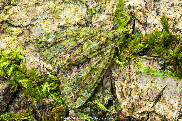 Red-green carpet moth (Chloroclysta siterata). Peak District National Park, Derbyshire, UK. April. Focus stacked image.  ,  Animal,Wildlife,Arthropod,Insect,Red green carpet,Animalia,Animal,Wildlife,Hexapoda,Arthropod,Invertebrate,Hexapod,Arthropoda,Insecta,Insect,Lepidoptera,Lepidopterans,Geometridae,Geometer,Geometrid,Moth,Looper,Chloroclysta,Chloroclysta siterata,Red green carpet,Phalaena siterata,Camouflage,Colour,Green,Europe,Western Europe,UK,Great Britain,England,Reserve,Protected area,National Park,  ,  Alex Hyde