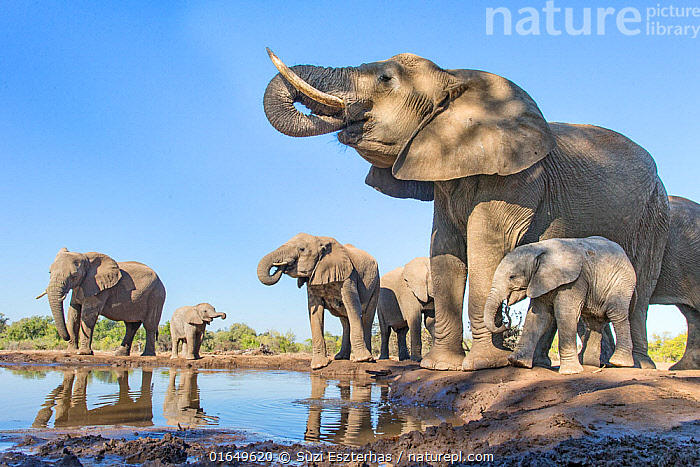 African elephant (Loxodonta africana) herd drinking at a waterhole,
